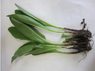 この画像には alt 属性が指定されておらず、ファイル名は 17-05-15_longrooted-onion.png です